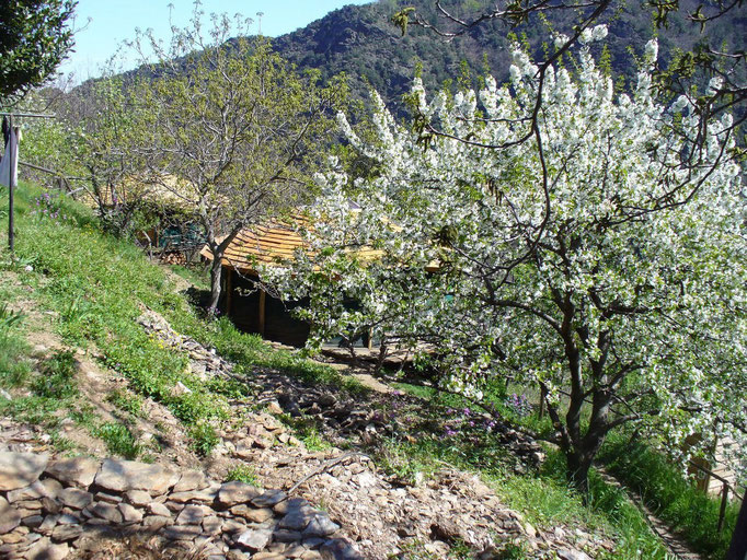 Les deux yourtes sous les cerisiers