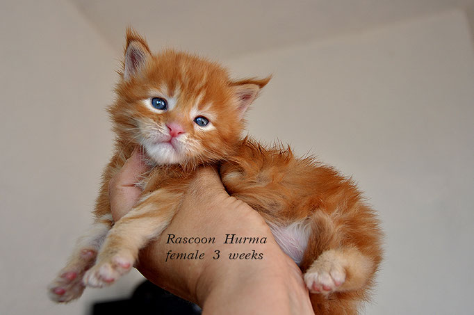 Rascoon Hurma female d 22 3 weeks