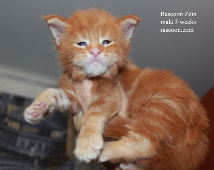 Rascoon Zein male 3 weeks