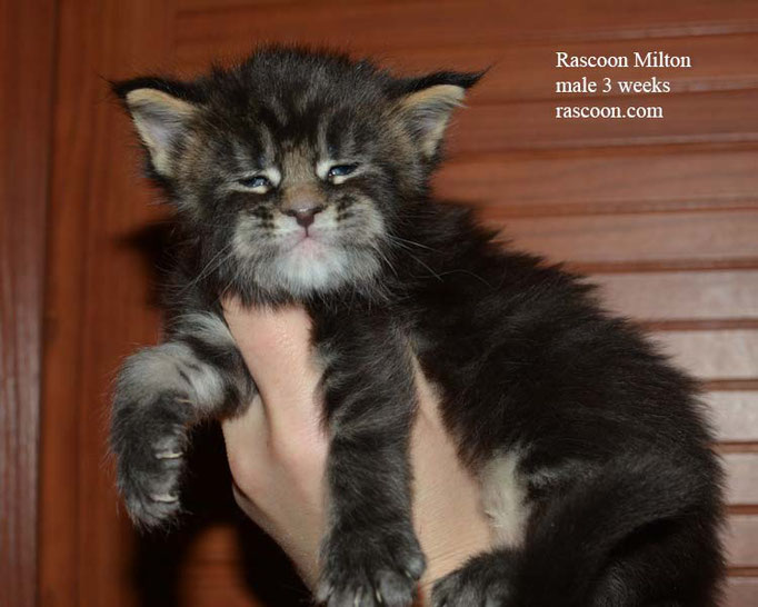Rascoon Milton male 3 weeks