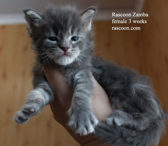 Rascoon Zamba female 3 weeks