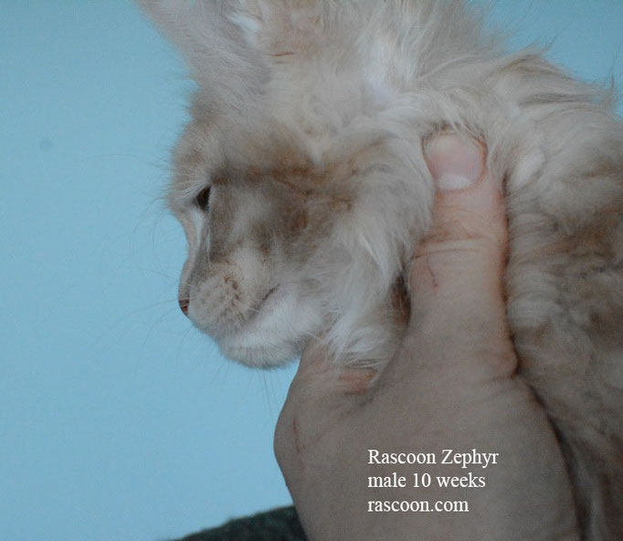 Rascoon Zephyr male 10 weeks