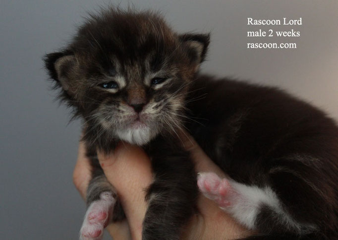 Rascoon Lord male 2 weeks