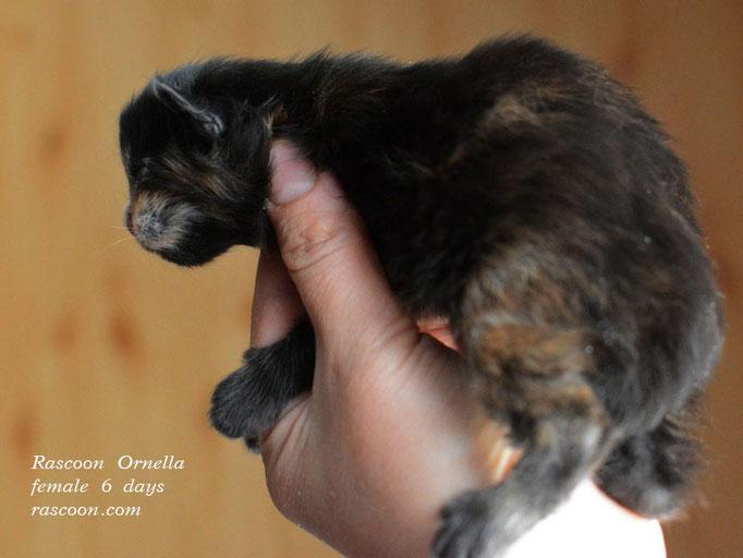 Rascoon Ornella female 6 days