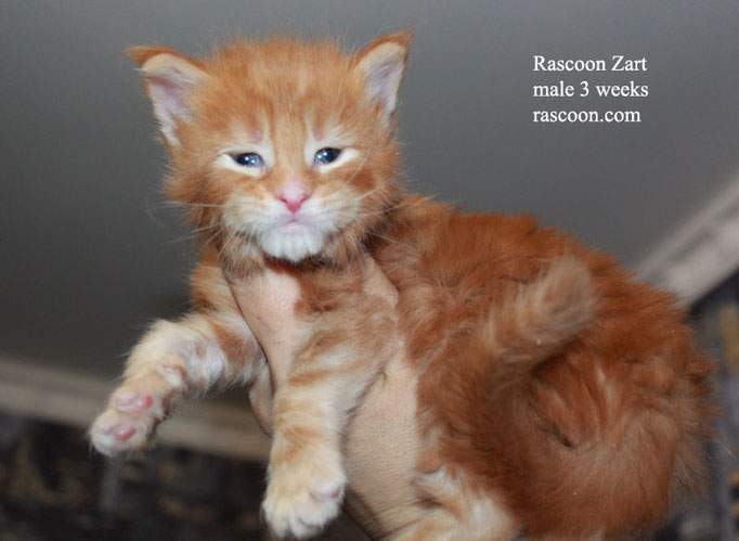 Rascoon Zart male 3 weeks