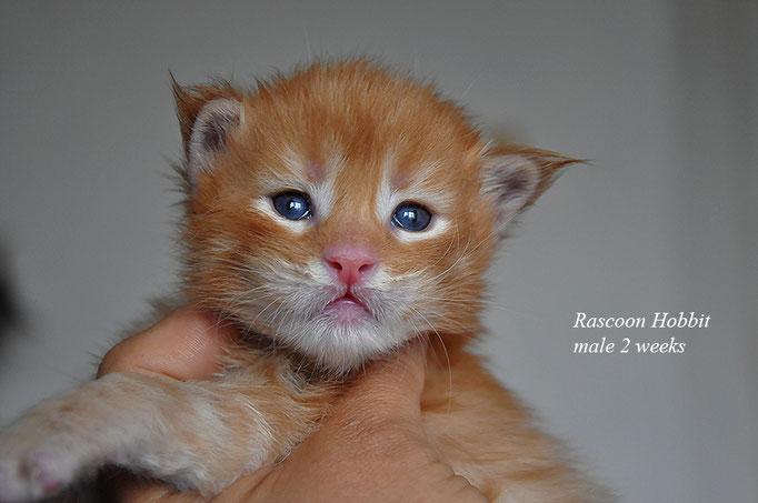 Rascoon Hobbit male 2 weeks