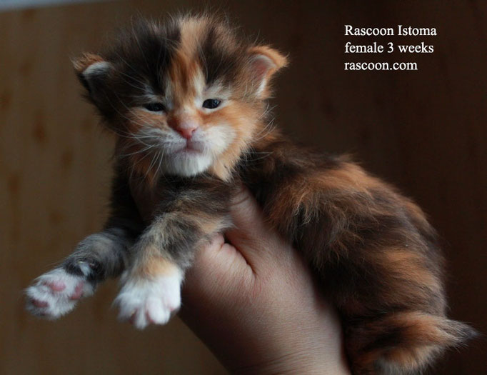 Rascoon Istoma female 3 weeks