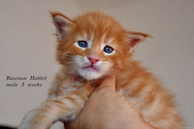 Rascoon Hobbit male d 23 3 weeks