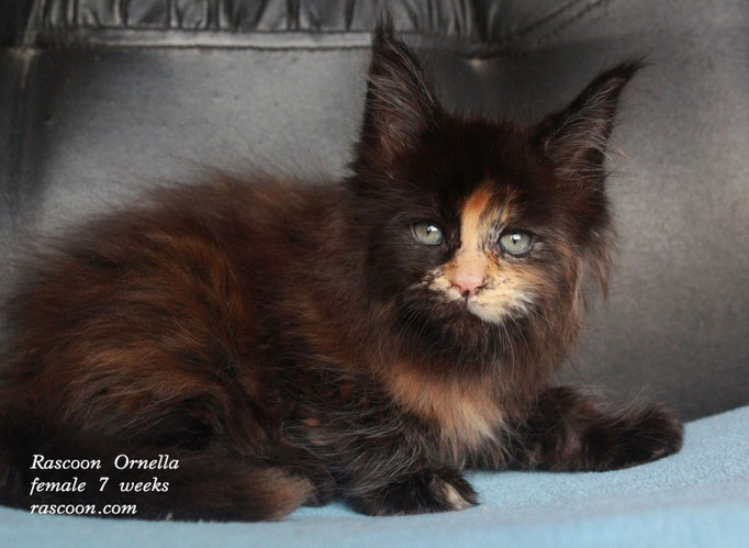 Rascoon Ornella female 7 weeks