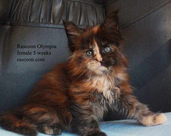 Rascoon Olympia female 5 weeks