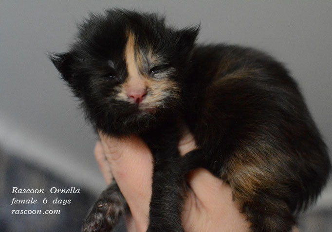 Rascoon Ornella female 6 days