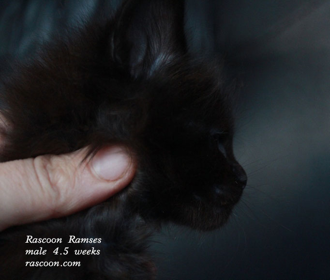 Rascoon Ramses male 4.5 weeks