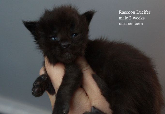 Rascoon Lucifer male 2 weeks