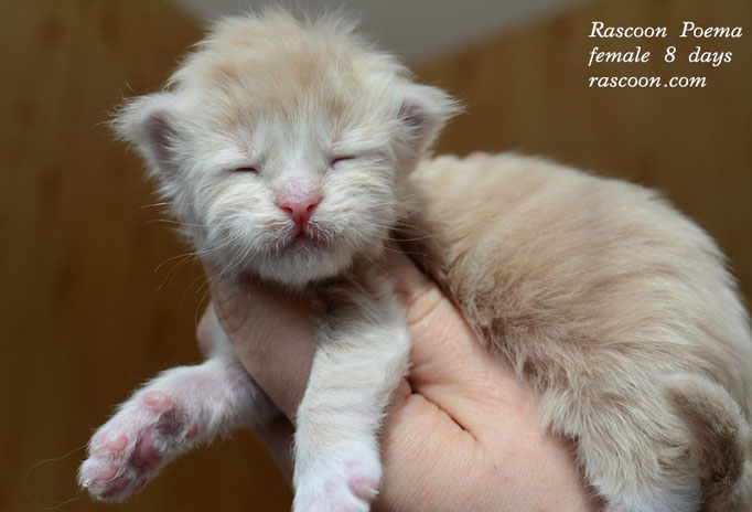 Rascoon Poema female 8 days