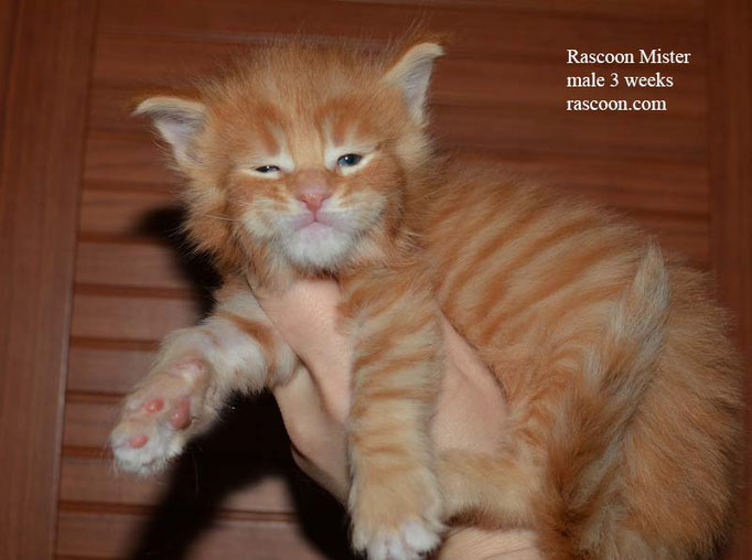 Rascoon Mister male 3 weeks
