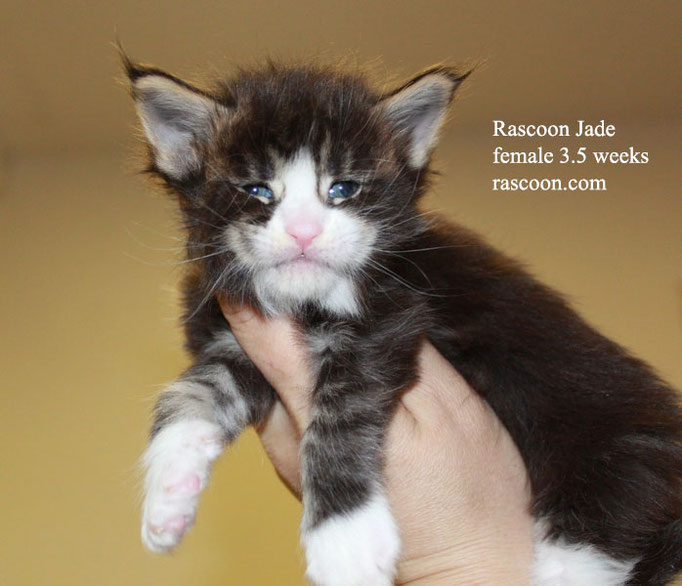 Rascoon Jade female 3.5 weeks