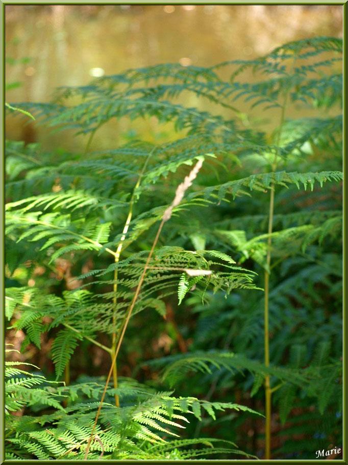 Fougères et herbacées au Parc de la Chêneraie à Gujan-Mestras (Bassin d'Arcachon)