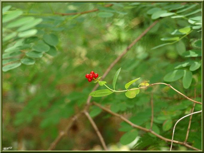 Arbrisseau à baies rouges sur fond d'acacia et de fougère au Parc de la Chêneraie à Gujan-Mestras (Bassin d'Arcachon)