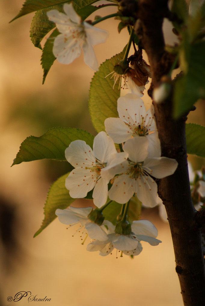 Fleurs de cerisier .. 07.04.11