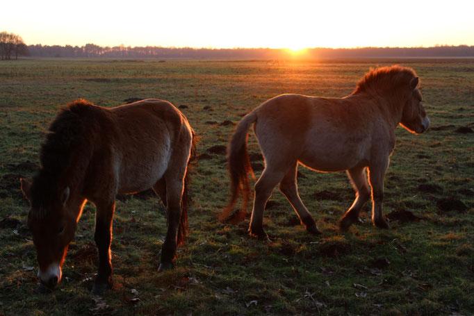 Przewalskipferde sind Wildpferde aus der Mongolei. Sie beweiden einen Teilbereich des NSG