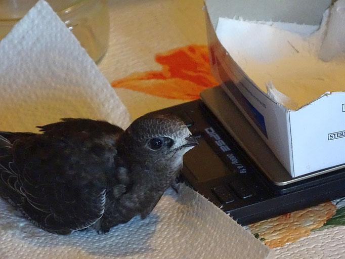Zu den Pflegevögeln gehören derzeit auch 32 Mauersegler, die artgerecht gefüttert und regelmäßig gewogen werden.</p>Foto: Beatrice Jeschke