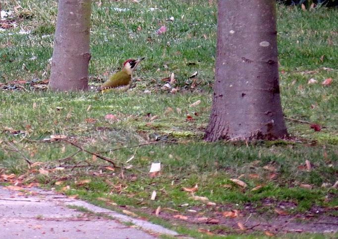 Einige Vögel ließen sich besonders ausgiebig beobachten, beispielsweise dieser Grünspecht.