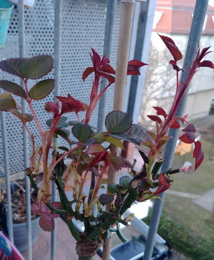 Manchmal kaufe ich Pflanzen aus Mitleid. Lediglich 2 EUR wollte man für diese kleine Hochstämmchen-Rose haben. Mal sehen, ob sie sich auf Balkonien behaupten kann. Alle übrigen Rosen sind gut über den Winter gekommen. Die Saison wird rosig!