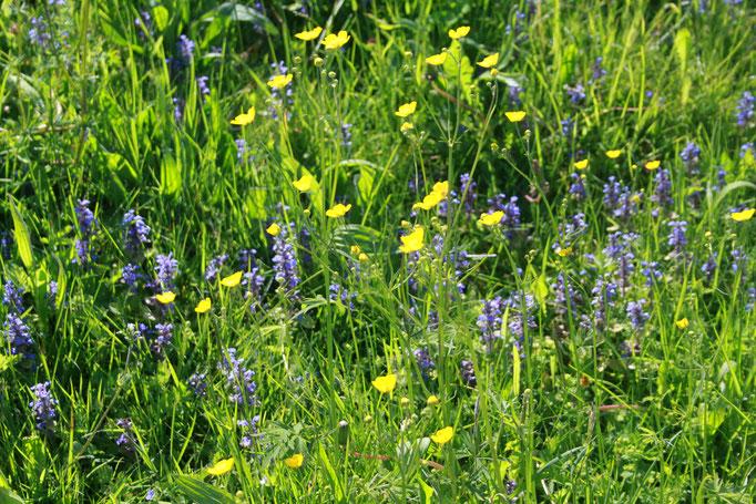 Blühende Wiesen - ein Paradies für Bienen