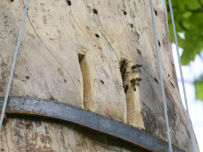 20. Mai: Fechelnde Bienen am Flugloch