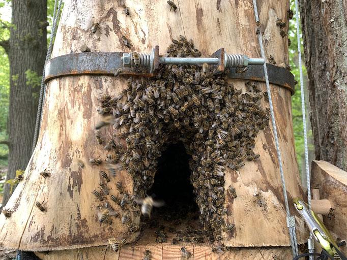 20. Mai: Am nächsten Morgen nach dem Einzug: Einige Bienen sitzen noch vor der Arbeitsöffnung und nutzte es als Flugloch. So war es nicht gedacht. Nach dem Schließen brauchte das Volk 45 Minuten, um das richtige Flugloch als solches zu nutzen.
