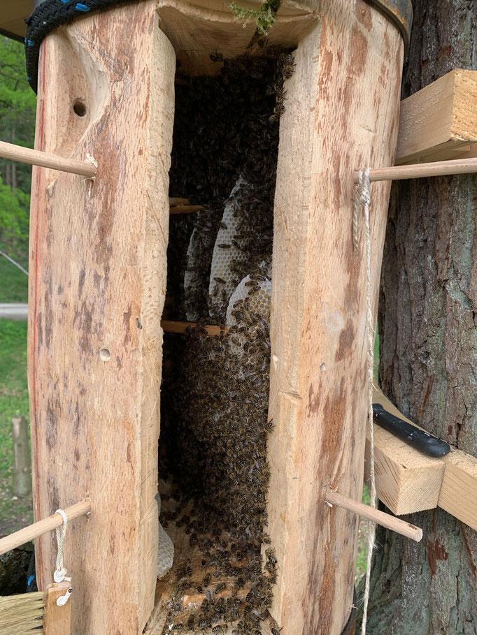 24. Mai 2019: Das Thermometer steigt nicht über 9 Grad. Wir füttern flüssig zu. Als Folge davon beginnen die Bienen ihren Bau in der Nähe der Futtertasche, an einem Speil in Beutenmitte.