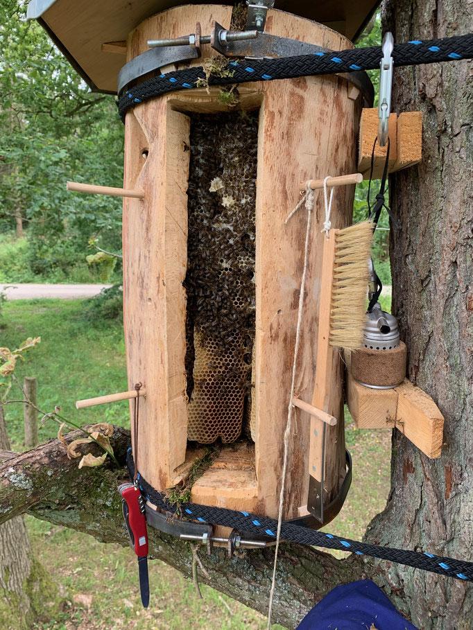 24. Juli 2019: Die Zahl der Bienen nimmt ab Juli ab. Wir können Verlagerungen von Futtervorräten beobachten. Gut zu sehen ist auch ein dicker Trocknungriss am Beutenboden, der notdürftig mit Moos verstopft wurde.