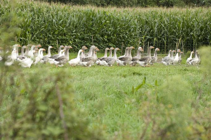 Canards dans leur champ