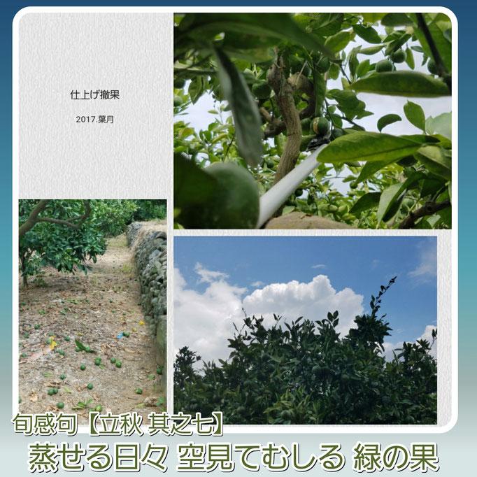 旬感句 【立秋 其之七】 『蒸せる日々 空見てむしる 緑の果』