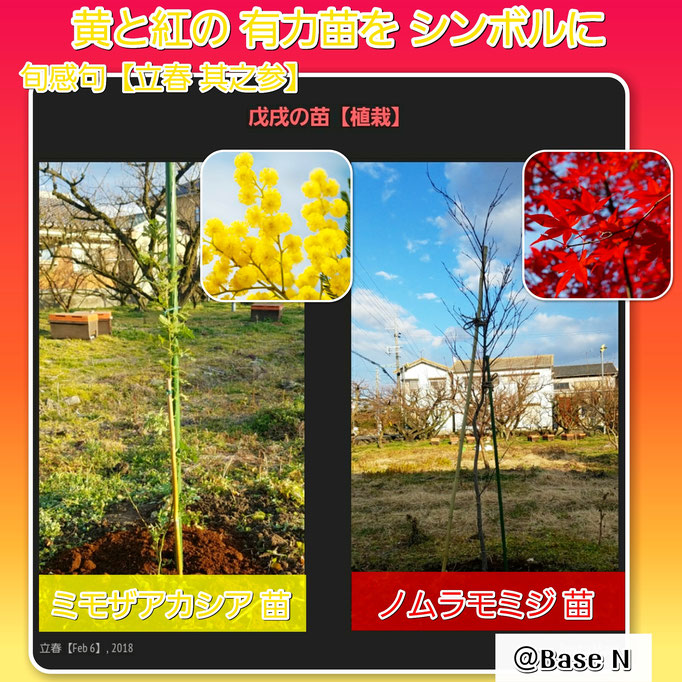旬感句 【立春 其之参】 『黄と紅の 有力苗を シンボルに 』