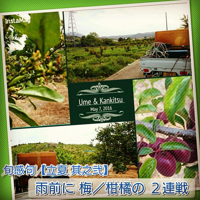 旬感句【立夏 其之弐】 『雨前に 梅/柑橘の 2連戦』