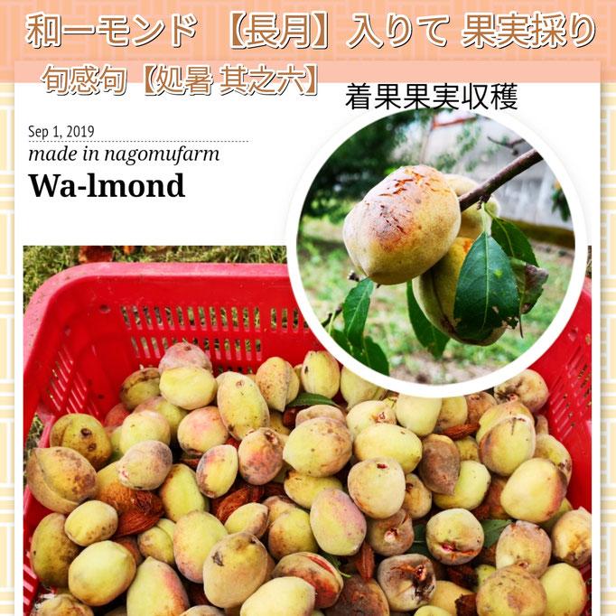 旬感句 【処暑 其之六】 『和ーモンド 長月入りて 果実採り』