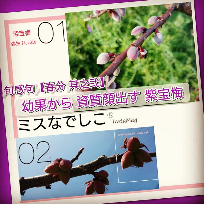 旬感句【春分 其之弐】 『幼果から 資質顔出す 紫宝梅』