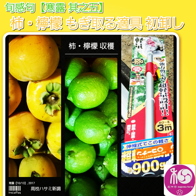 旬感句 【寒露 其之五】 『柿・檸檬 もぎ取る適具 初卸し』