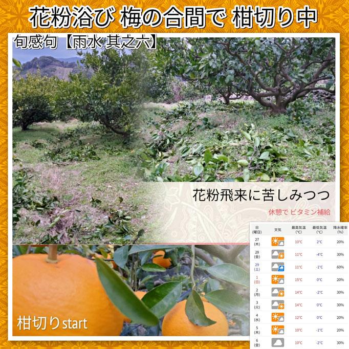 旬感句 【雨水 其之六】 『花粉浴び 梅の合間で 柑切り中』
