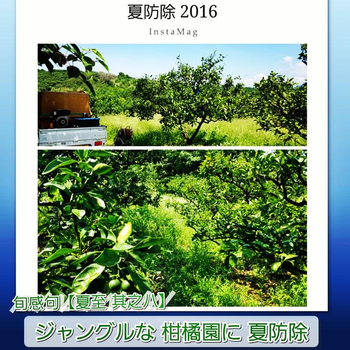 旬感句【夏至 其之八】 『ジャングルな 柑橘園に 夏防除』