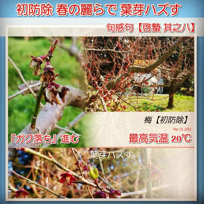 旬感句 【啓蟄 其之八】 『初防除 春の麗らで 葉芽ハズす』