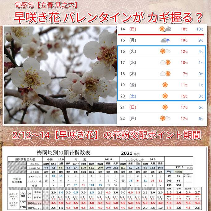 旬感句 【立春 其之六】 『早咲き花 バレンタインが カギ握る』