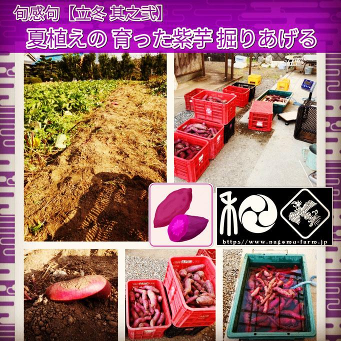 旬感句 【立冬 其之弐】 『夏植えの 育った紫芋 掘りあげる』