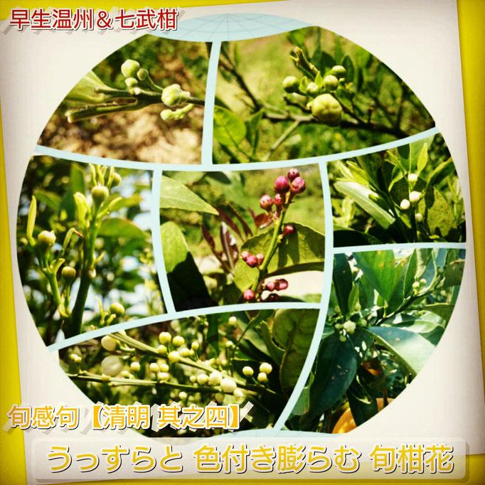 旬感句【清明 其之四】 『うっすらと 色付き膨らむ 旬柑花』