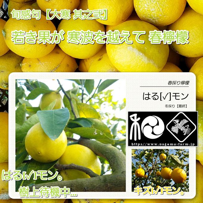 旬感句 【大寒 其之弐】 『若き果が 寒波を越えて 春檸檬』