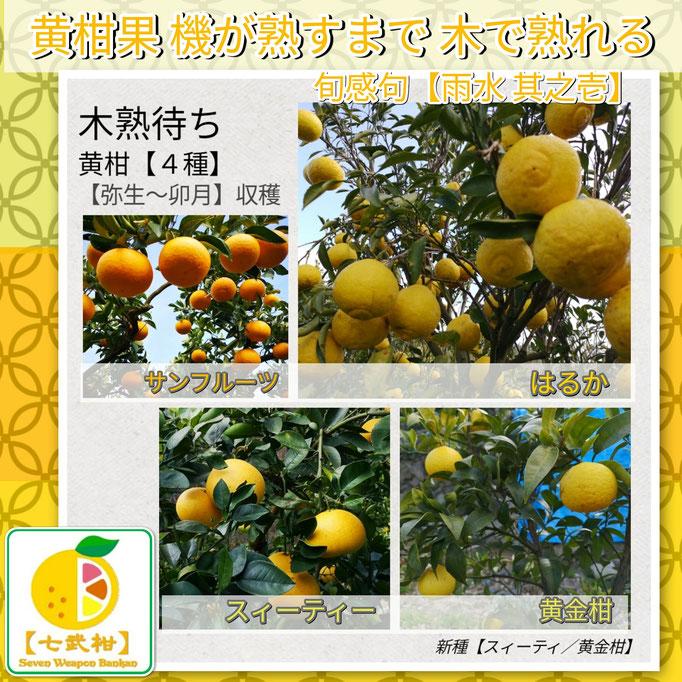 旬感句 【雨水 其之壱】 『黄柑果 機が熟すまで 木で熟れる』