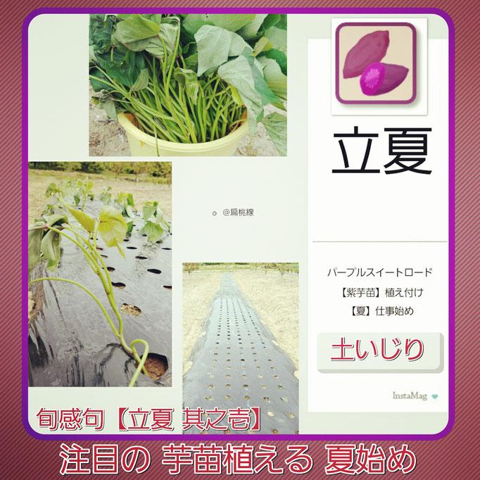 旬感句 【立夏 其之壱】 『注目の 芋苗植える 夏始め』