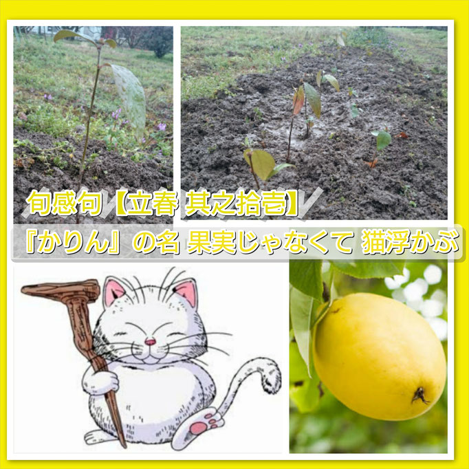 旬感句【立春 其之拾壱】 『かりん』の名 果実じゃなくて 猫浮かぶ
