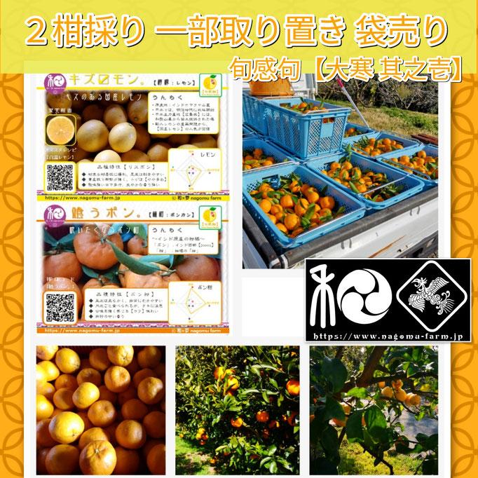 旬感句 【大寒 其之壱】 『2柑採り 一部取り置き 袋売り』